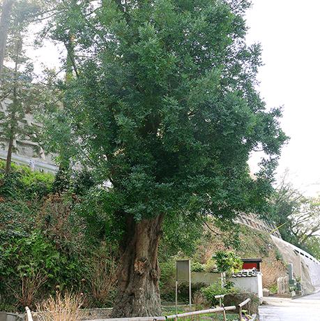 ナギの古木(県指定文化財)